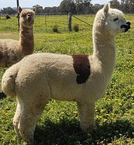 alpaca-stud-male-Apatche
