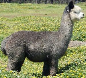 alpaca-stud-male-Oscar