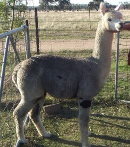 alpaca-male-Sterling