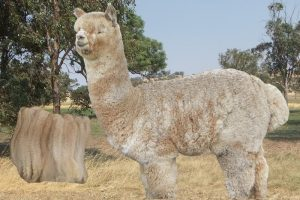 alpaca-stud-male-Monet